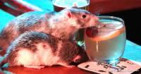 Un bar à rats a ouvert à San Francisco